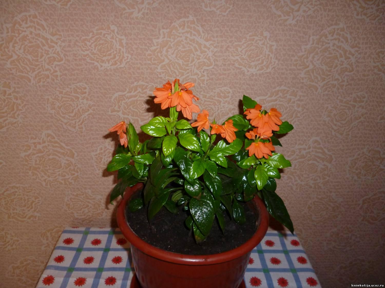 Выращивание кроссандры в домашних условиях 424